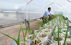 Dr. Raja Reddy works on rice plants in a greenhouse structure