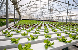 Lettuce grows in Salad Days, LLC, hydroponics greenhouse located in Flora, Mississippi
