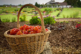 tomatoes in a basket with landscape