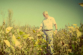 scientist in weedy soybeans