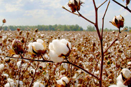 cotton ready for harvest in the field